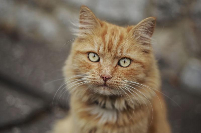 Close-up portrait of brown cat