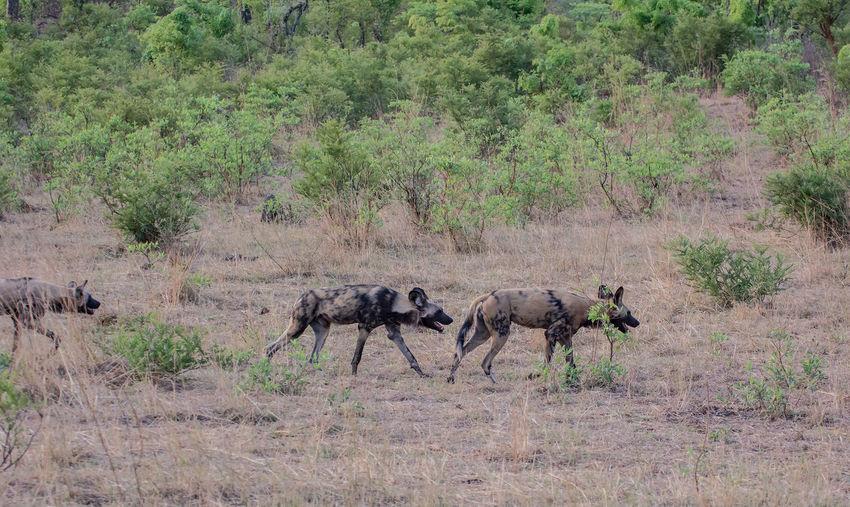 Hyena Walking On Field In Forest
