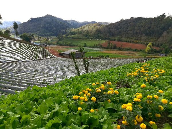 Agriculture Flower Growth Field Rural Scene Nature Crop  Cloud - Sky Landscape Hill No People Plant Outdoors Beauty In Nature Freshness Springtime Day Flower Head Tree Sky แม่ฮ่องสอน Mea Hong Son Thailand