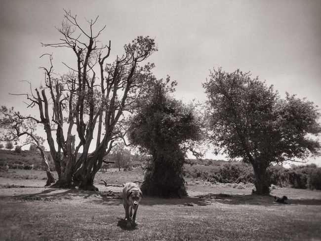 Looking For Shade Beautiful Trees Beautiful Nature Black And White Photography Bnw_collection Bnw New Forest National Park Trees And Sky Trees Dogs Dog Walking EyeEm Nature Lover Outside Photography Fresh On Eyeem  Fresh On Eyeem  Godshill Hampshire Fine Art Photography