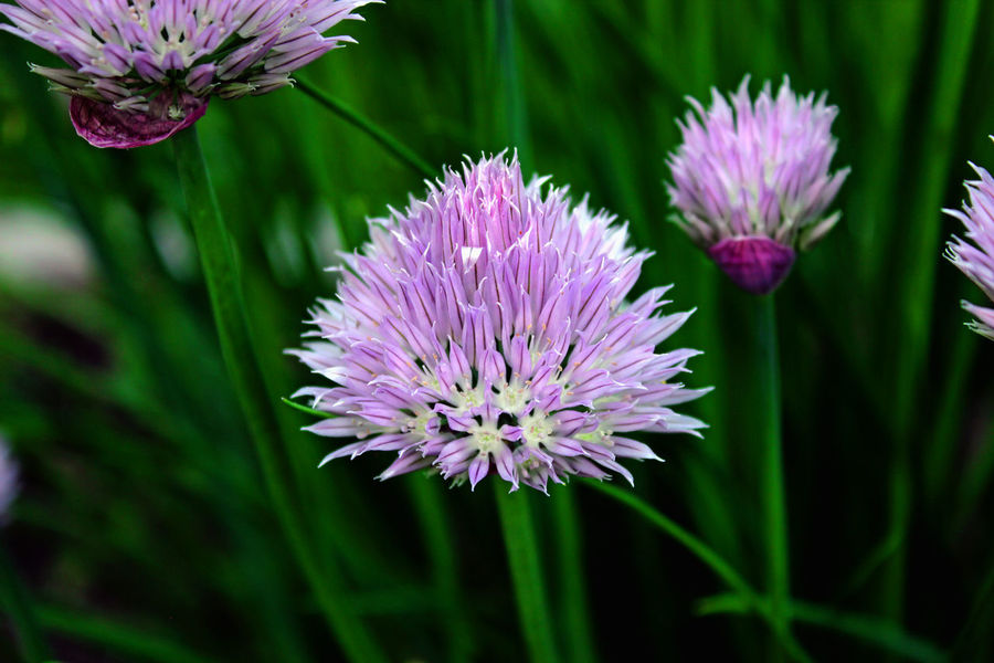 Closeup of chive flower in herb garden; Edible herb flowers; Home garden; Kitchen garden. Center framed Agriculture Chives Blossom Farm Gardening Herb Allium Schoenoprasum Beauty In Nature Blooming Chives Close-up Day Flower Flower Head Fragility Freshness Garden Growth Ingredient Nature No People Onion Organic Outdoors Plant Purple
