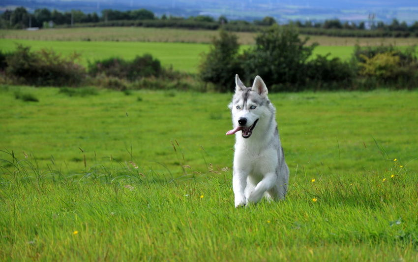 EyeEm Dog Lover Husky ♡ Running Agriculture Animal Themes Day Dog Domestic Animals EyeEm Dogs Field Grass Green Color Growth Husky Landscape Mammal Nature No People One Animal Outdoors Pets Rural Scene Sky Syberianhusky Tree