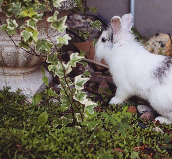 Bunny  Rabbit Pet Garden Animal Mammal Exploring White Fluffy Small First Eyeem Photo