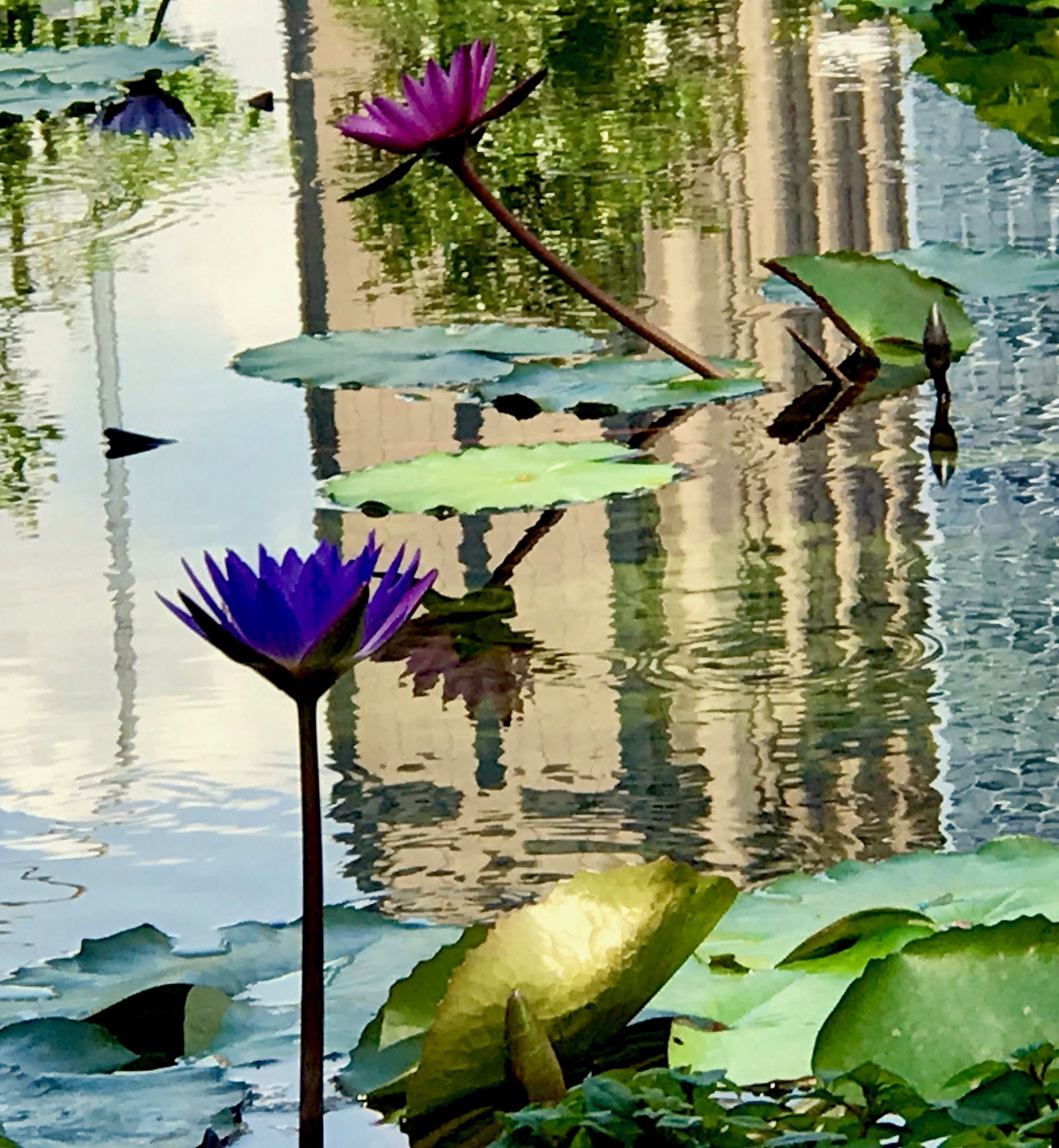 flower, water, beauty in nature, water lily, fragility, floating on water, lotus water lily, nature, petal, lily pad, reflection, flower head, growth, waterfront, plant, freshness, lake, outdoors, no people, tranquility, leaf, blossom, blooming, lotus, day