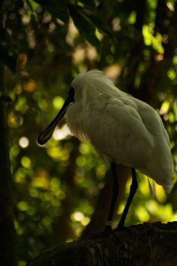 Bird Photography Wildlife Wildlife Photography Nature Photography Australia Canon Photography Animal Themes Animal Animal Wildlife Animals In The Wild Vertebrate Bird One Animal No People Focus On Foreground Nature Side View Full Length Plant Beak Ibis Outdoors Tree Water Close-up Day