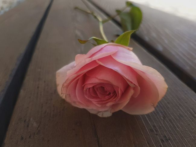 Rosé Rose - Flower Pink Color Freshness Beauty In Nature Close-up Flower Rose🌹 Single Rose Beautiful Romantic Romance Pink Light Pink Rose Light Pink