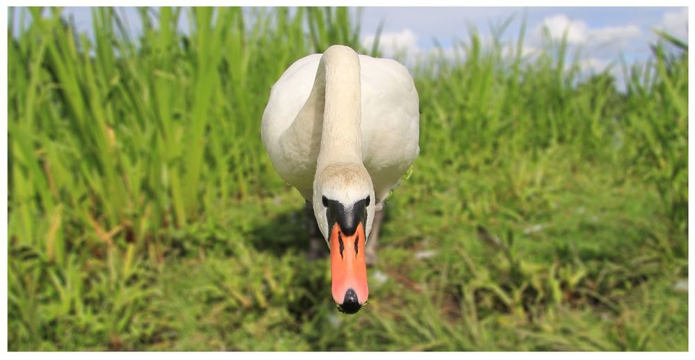 Duck Animal Themes Animal Wildlife Animal Animals In The Wild Plant One Animal Transfer Print Nature Day Focus On Foreground Grass No People Close-up