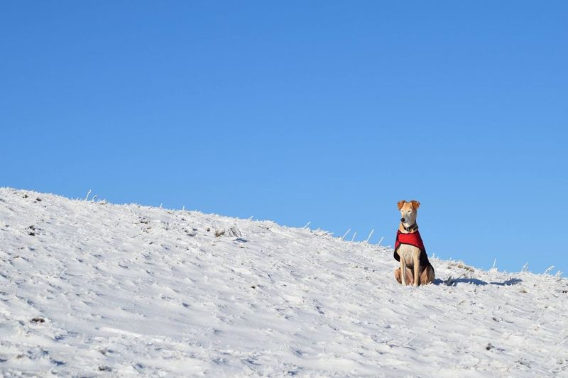 Dog on snow covered mountain against clear blue sky