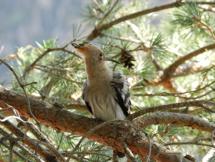 Hello World Hoopoe EyeEm Nature Lover Taking Photos Nofilter EyeEm Gallery Eye4photography  No People Animal Themes Animal Vertebrate Animal Wildlife Tree Animals In The Wild One Animal Bird Plant Branch Perching Low Angle View No People Day Nature Outdoors Beauty In Nature