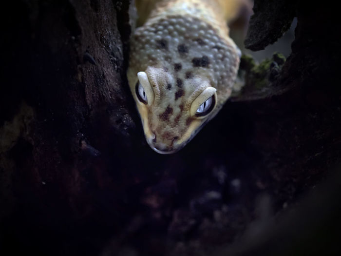 All about exotic lemon frost gecko, amazing animal reptile photo series
