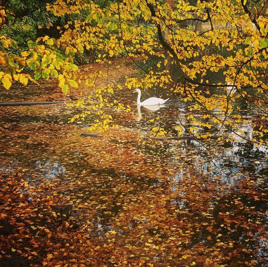 Autumn Autumn Colors Fall Fall Colors Swan Pond