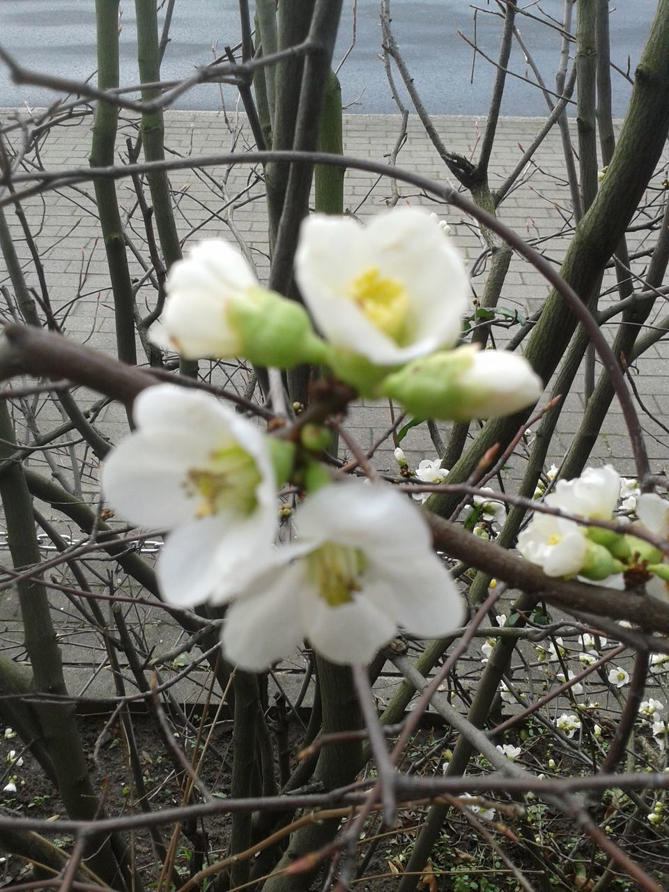 growth, flower, white color, blossom, nature, beauty in nature, fragility, tree, branch, springtime, twig, freshness, day, no people, outdoors, close-up, blooming, flower head