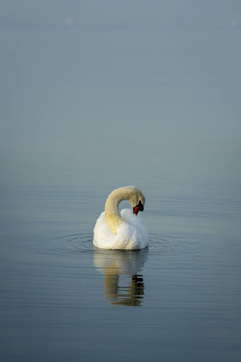 Swan preening while swimming in lake