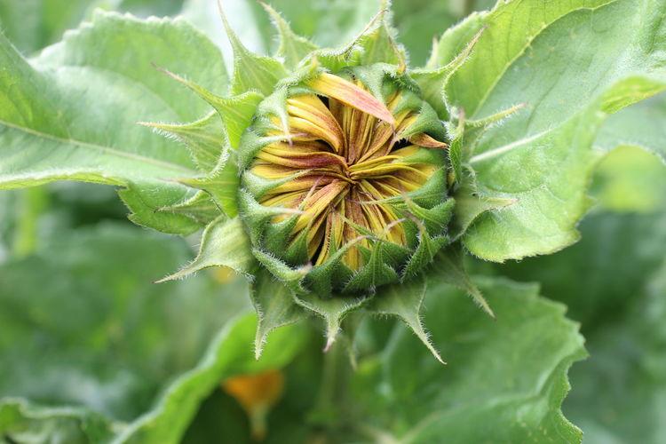 Close-up of sunflower bud