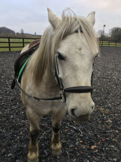 Scotland Highland Pony Horse Animal Themes Domestic Animals Mammal One Animal Livestock Close-up Outdoors