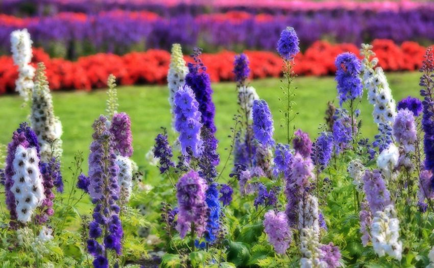 Close-up of fresh purple flowers blooming in garden