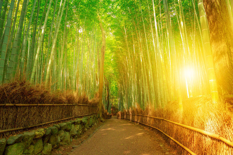 tourist woman jumping in bamboo forest at Sagano in Arashiyama, kyoto, japan. Travel asia concept. Freedom and enjoying concept. Kyoto's popular landmark and touristic destination. Surreal path in bamboo grove at Sagano in Arashiyama, sunlit. The forest is Kyoto's second most popular tourist destination and among the 100 phonetic stations in Japan. Meditative listening concept. Arashiyama Arashiyama Bamboo Grove Arashiyama Bamboo Forest Bamboo Grove Japan Japan Photography Japanese  Japanese Food Japanese Garden Kyoto, Japan Path Tourist Tree Woman Arashiyama Bamboo Groove Arashiyamabambooforest Arashiyamabamboogrove Bamboo Bamboo - Plant Bamboo Grove Beauty In Nature Diminishing Perspective Direction Footpath Forest Forest Fire Green Color Growth Kyoto Kyoto Garden Kyoto,japan Land Nature No People Outdoors Plant Road Sunlight The Way Forward Tranquil Scene Tranquility Tree WoodLand