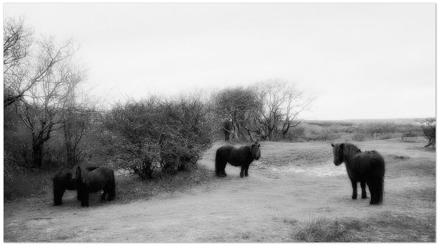 Wild Horses Look Me In The Eyes Black And White Dunes Dutch Landscape What Does Peace Look Like To You?