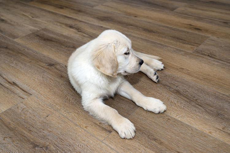 High angle view of a dog lying on hardwood floor