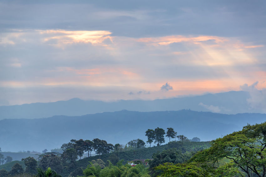 Green hills in the coffee triangle region of Colombia around sunset Agriculture Coffee Colombia Farm Field Latin Manizales Natural Nature Plant Plants Travel Tree Bean Caldas Chinchina Colombian  Countryside Drink Forest Fresh Landscape Leaf Mountain South America