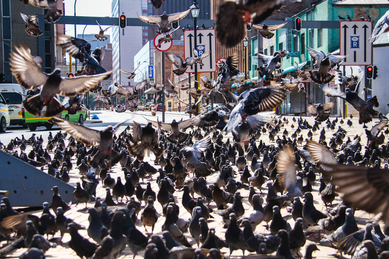 Pigeon Square in downtown Johannesburg Inner City Urban Feathers Wings Bird City Flying Flock Of Birds Street Animal Themes Pigeon Pigeon Square Johannesburg South Africa Animal Large Group Of Animals Spread Wings Crowd Animals