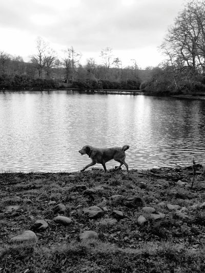 Labradoodle Dog Dogs Dogs Of EyeEm Walking Around Loch  Water Lake Water Tree Lake Full Length Swimming Sky Animal Themes Lakeshore Canine