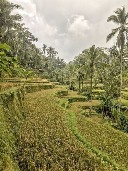 Hut Farmland Scenery Growth Agriculture Bali, Indonesia Harvest Palm Tree Rice Terrace Rice Paddy Rice Field Plant Sky Tree Cloud - Sky Nature Growth Beauty In Nature Tranquility No People Land Environment Landscape Field Scenics - Nature Green Color Tranquil Scene Outdoors Grass Agriculture