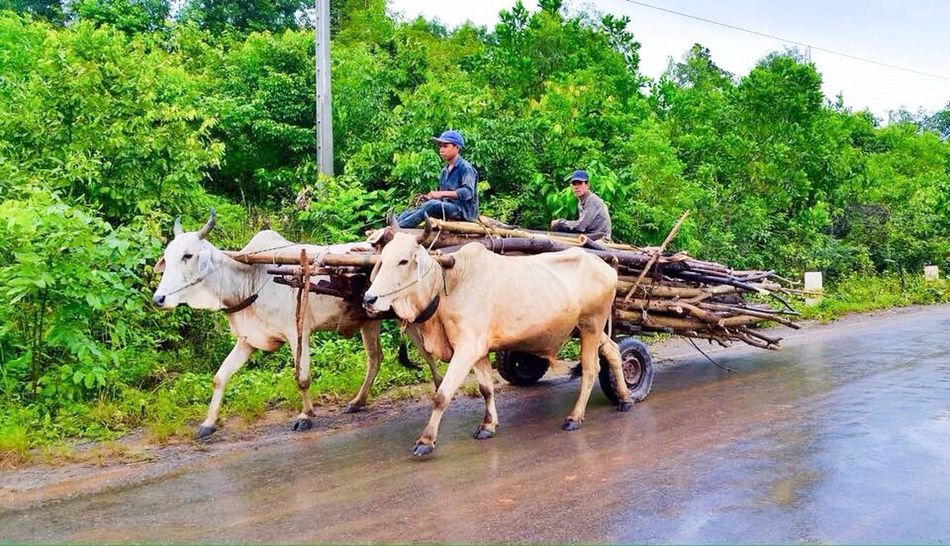 Cambodia Making A Living Steung Hev Steung Hev, Cambodia Ox And Cart Ox  Ox Cart Cart Carting Wood Wood Delivery Man Deliveries Delivery Firewood Like The Olden Days
