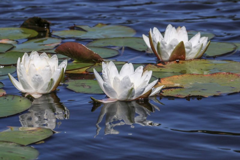 three white lotus reflected in the blue water Beauty In Nature Close-up Day Floating On Water Flower Flower Head Fragility Freshness Growing Growth Lake Leaf Lily Pad Lotus Water Lily Nature No People Petal Plant Pond Reflection Simplicity Single Flower Water Water Lily Waterfront