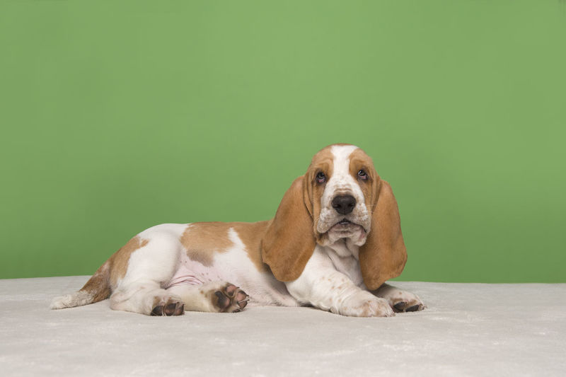 Portrait of dog sitting against green background
