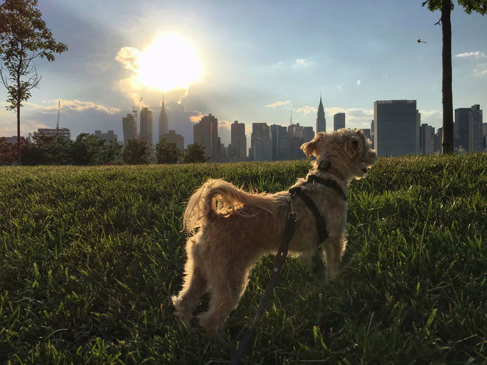 View of Manhattan from across the East River in Long Island City, Queens, NYC. Architecture Built Structure City Dog Domestic Animals East River Grassy Green Color Landscape Long Island City Manhattan Nature New York City NYC Outdoors Pets Sky Skyline Summer Sun Sunlight