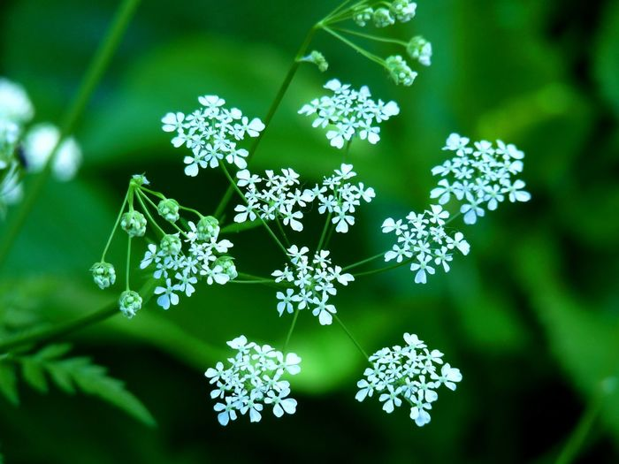Flower Fragility Vulnerability  Flowering Plant Plant Beauty In Nature Freshness Nature Close-up Green Color No People Day Flower Head Growth Inflorescence Focus On Foreground Selective Focus Outdoors Plant Part Leaf
