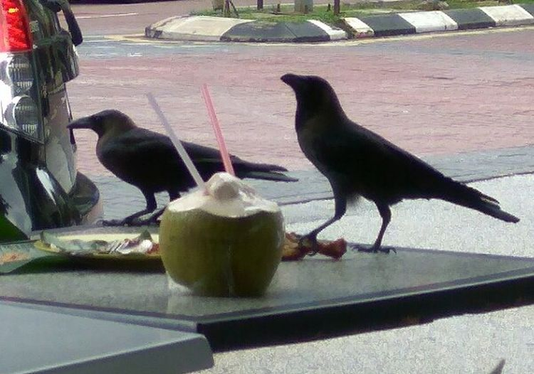 Black Crow Crows Feeding Time CROWS!!!! Time For Nature Black Crows Happy Feeding Ground Birds Of A Feather Birds Of EyeEm  Eyeemphotography A Coconut And Crows Refreshing Coconut And Two Crows Whatsonmyplate
