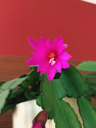 My easter cactus is little bit late 🤦🏻♀️👩🏻🌾👍🏻 Petal Flower Head Beauty In Nature Fragility Freshness Nature Growth Blooming Close-up No People Green Color Leaf Day Plant Outdoors Zinnia  Periwinkle Cactus Cactus Flower Easter Cactus