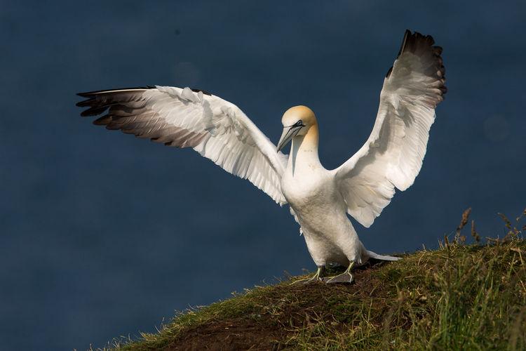 Gannets on field against sea