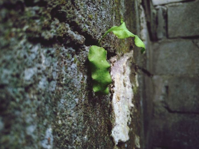 Moss Ivy Leaf Wall - Building Feature Close-up Architecture Plant Green Color Built Structure
