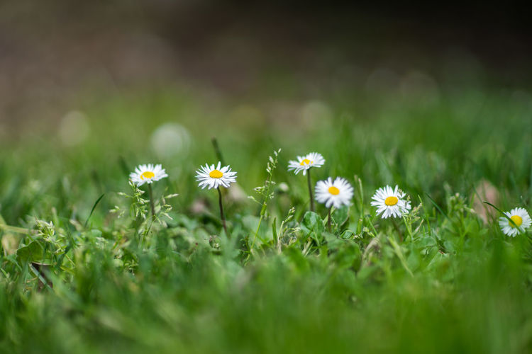 Close up of daisy flowers blooming in field