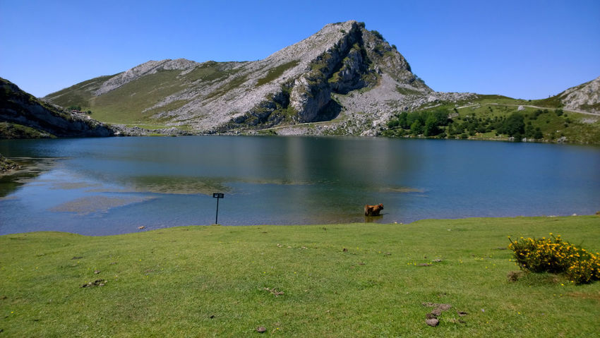 View of a cow at Lake Enol in Lakes of Covadonga, Asturias - Spain Animal Asturias Blue Covadonga Cow Enol Lake Green Lago Enol Lagos De Covadonga Lake Lakes  Landscape Mammal Mountain Natural Nature Outdoors Peak Picos De Europa Picturesque Scenics SPAIN Travel Travel Destinations Water