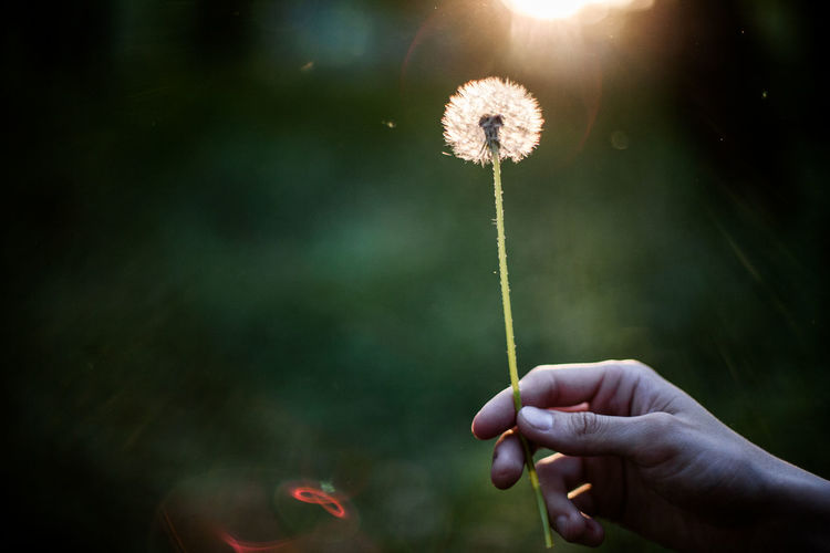 Cropped hand holding dandelion