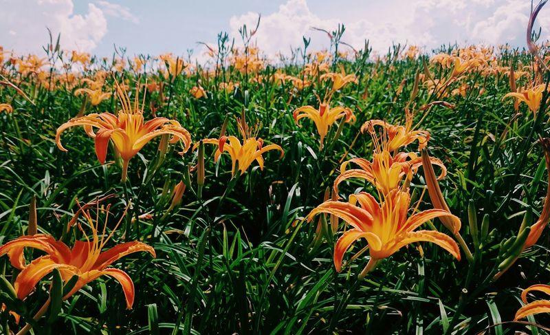 Ya🙌🙌有花。 Daylilys 金針花 六十石山