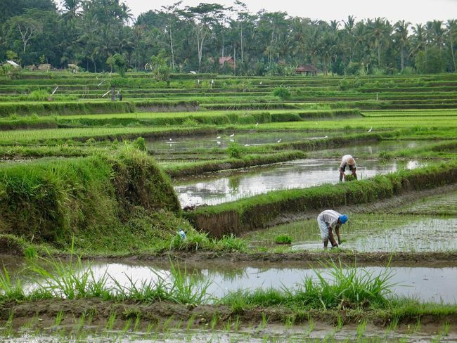 Agriculture Farm Farmer Field Rice Paddy Crop  Rural Scene Growth Rice - Cereal Plant Real People Working Nature Cereal Plant Asian Style Conical Hat Occupation Full Length Plant Adult