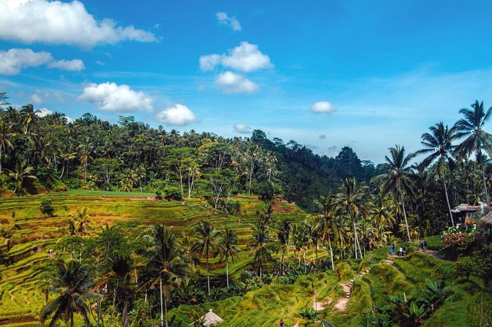 Outdoors Nature Tranquility Rice Paddy Terraced Field Beauty In Nature Mountain Bali Tegalalang Growth The Great Outdoors - 2017 EyeEm Awards