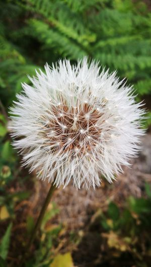 Flower Flower Head Nature Beauty In Nature Fragility Growth Day Outdoors Plant Focus On Foreground Close-up No People Wildflower Field Freshness Thistle dandelion Dandelion Seed Dandelion Close-up Beauty In Nature Plant Freshness Blooming Nature