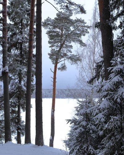 Pine trees on snow covered land