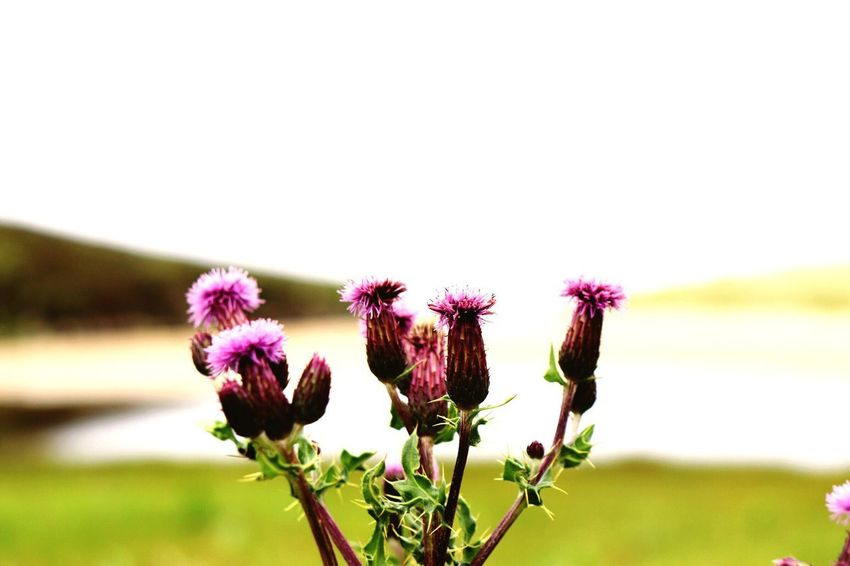 Scotland Flowering Plant Flower Plant Freshness Fragility Vulnerability  Growth Close-up Beauty In Nature Focus On Foreground Nature Flower Head Botany Plant Stem Sky Pink Color Purple