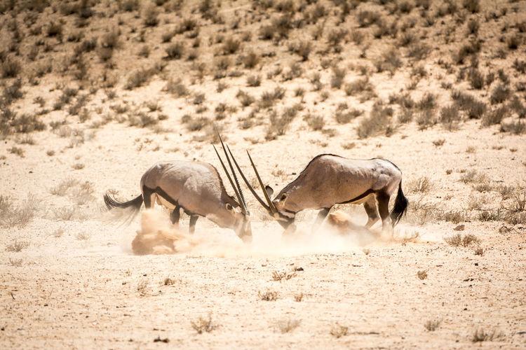 Side view of antelopes fighting at desert