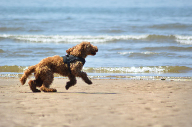 Cockapoo Animal Animal Themes Beach Canine Dog Dog On Beach Dog On Holiday Domestic Domestic Animals Land Mammal Motion Nature No People One Animal Pets Running Sand Sea Water Wave