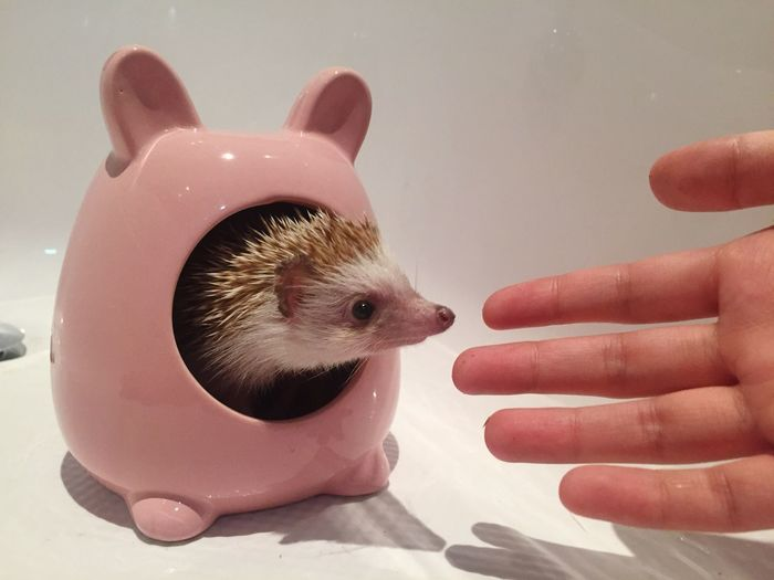Human Hand Animal Themes One Animal One Person Real People Holding Human Body Part Hamster Hedgehog Pets Indoors  Close-up People