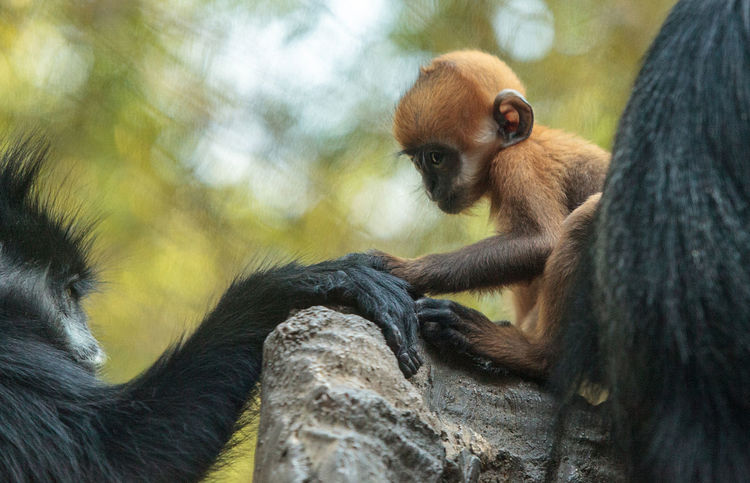 Mother and child Francois Langur monkey family also called Trachypithecus francoisi can be found in nature in China and northeastern Vietnam Baby Langur Monkey Mother Tonkin Leaf Monkey Trachypithecus Francoisi Young Animal Themes Animals In The Wild Cute Day Francois Langur Langur Lutung Mammal Monkey Nature No People Outdoors Primate Simian White Side-burned Black Langur Wildlife