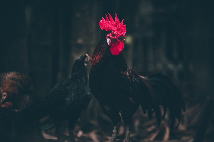 View of a rooster